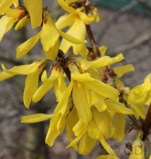 Zwerg Forsythie Nimbus 20-25cm - Forsythia intermedia