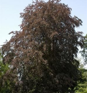Blutbuche 100-125cm - Fagus sylvatica