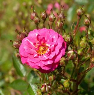 Bodendeckerrose Purple Rain 20-30cm