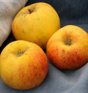 Apfelbaum Osterkamps Renette 60-80cm - ein Winterapfel