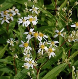 Doldenblütige Aster Weißer Schirm - Aster umbellatus