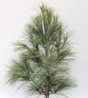 Silberkiefer 50-60cm - Pinus sylvestris