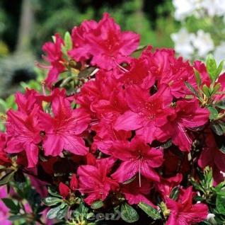 Japanische Azalee Georg Arends 50-60cm - Rhododendron obtusum - Zwerg Alpenrose