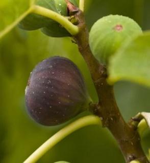 Feigenbaum Violette Dauphine 80-100cm - Ficus carica