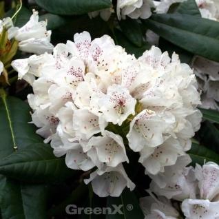 Indische Wild Rhododendron Rexima 25-30cm - Rhododendron rex