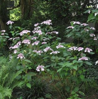 Teller Hortensie Omacha 30-40cm - Hydrangea serrata