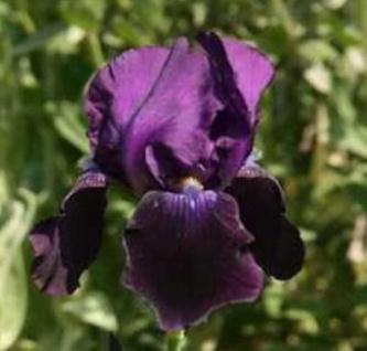 Schwertlilie Black Dragon - Iris barbata