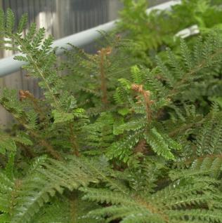 Japanischer Glanzschildfarn - Polystichum polyblepharum