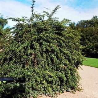 Lanzen Berberitze 80-100cm - Berberis hybrido