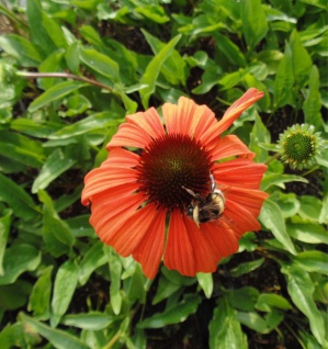 Sonnenhut Tangerine Dream - Echinacea purpurea
