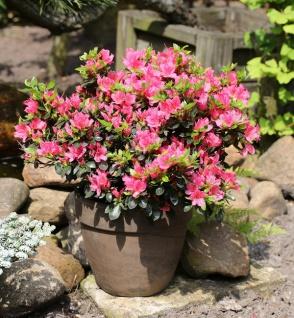 Japanische Azalee Drapa® 20-25cm - Rhododendron obtusum - Zwerg Alpenrose