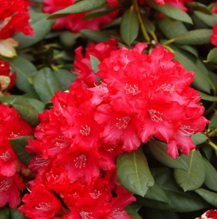 Rhododendron Leuchtfeuer 30-40cm - Alpenrose