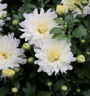 Winteraster Havelschwan - Chrysanthemum hortorum