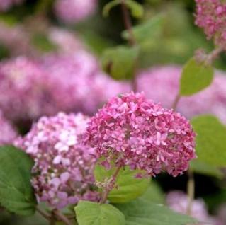 Ballhortensie Pink Annabelle 60-80cm - Hydrangea arborescens