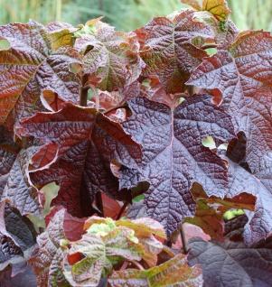 Eichenblättrige Hortensie Ruby Slippers 40-60cm - Hydrangea quercifolia