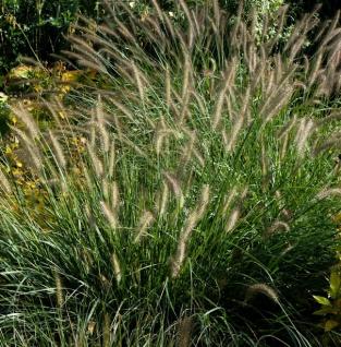 Australisches Lampenputzergras - Pennisetum alopecuroides