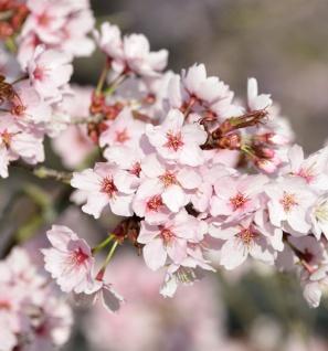 Scharlachkirsche 80-100cm - Prunus sargentii