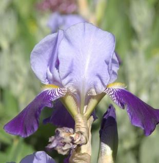 Schwertlilie Rheintraube - Iris barbata
