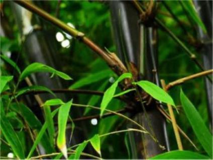 Schwarzrohrbambus 80-100cm - Phyllostachys nigra