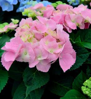 Bauernhortensie Frisbee Pink 40-60cm - Hydrangea macrophylla