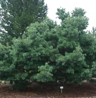 Mädchenkiefer Schoons Bonsai 25-30cm - Pinus parviflora