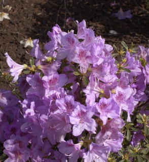 Japanische Azalee Ledikanense 25-30cm - Rhododendron obtusum - Zwerg Alpenrose