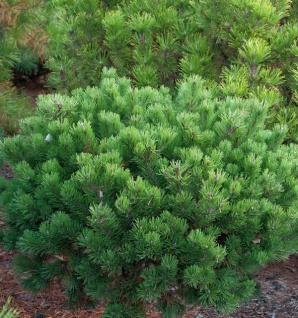 Zwerg Latschenkiefer Klostergrün 25-30cm - Pinus mugo