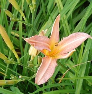 Taglilie Pink Dream - Hemerocallis