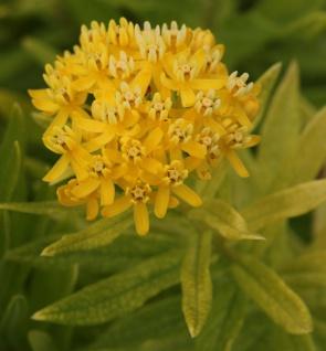 Seidenpflanze Yellow - Asclepias incarnata