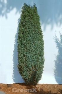 Zwerg Säulen Wacholder Compressa 25-30cm - Juniperus communis