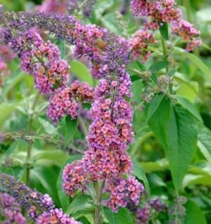 Sommerflieder Flower Power 40-60cm - Buddleja