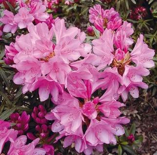 Hochstamm Rhododendron Graziella 80-100cm - Rhododendron ponticum