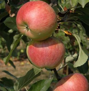 Säulenapfel Polka 60-80cm - rotgelbe Früchte