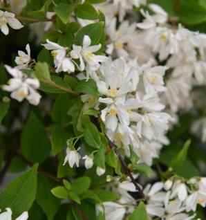 Kleine Deutzie Maiblumenstrauch Yuki Cherry Blossom 40-50cm - Deutzia scabra