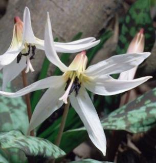 Hundszahn Lilie Snowflake - Erythronium dens-canis