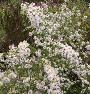 Myrtenaster Herbstmyrthe - Aster ericoides