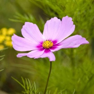 Schmuckkörbchen Sonata Pink - großer Topf - Cosmos bipinnatus