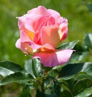 Delbard Rose Pink Paradise® 30-60cm