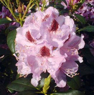 Großblumige Rhododendron Humboldt 60-70cm - Alpenrose