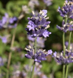 Breitblättriger Lavendel - Lavandula latifolia