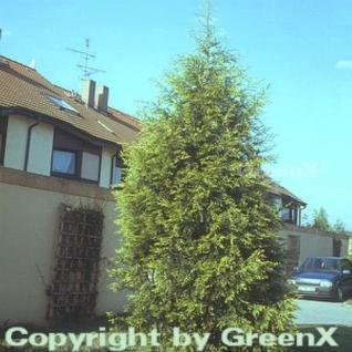 Gelbe Leyland Zypresse Castlewellan Gold 100-125cm - Cupressocyparis leylandii