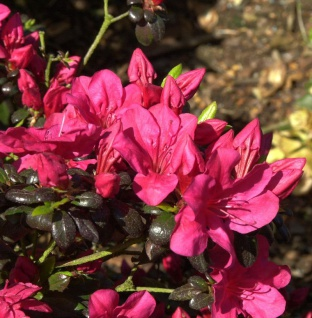 Japanische Azalee Maruschka® 25-30cm - Rhododendron obtusum - Zwerg Alpenrose