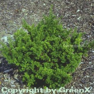 Japanische Zwergeibe 60-80cm - Taxus cuspidata Nana