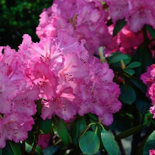 INKARHO - Großblumige Rhododendron Haithabu® 40-50cm - Alpenrose