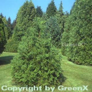 Zwerg Hibalebensbaum 10-15cm - Thujopsis dolabrata - Vorschau