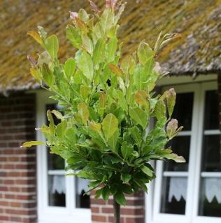Hochstamm Kleine Sternmagnolie 80-100cm - Magnolia stellata