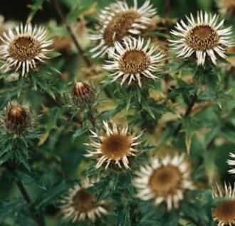 Golddistel - Carlina vulgaris