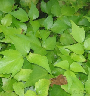 Sichel Ilexfarn - Cyrtomium falcatum
