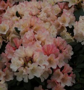 INKARHO - Großblumige Rhododendron Aureolin 40-50cm - Alpenrose
