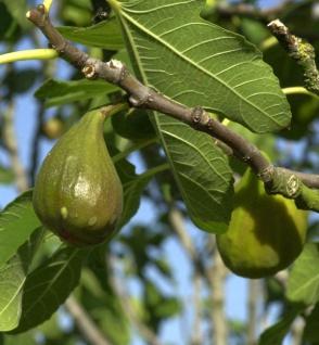 Feigenbaum Madeleine des 2 Saisons 80-100cm - Ficus carica